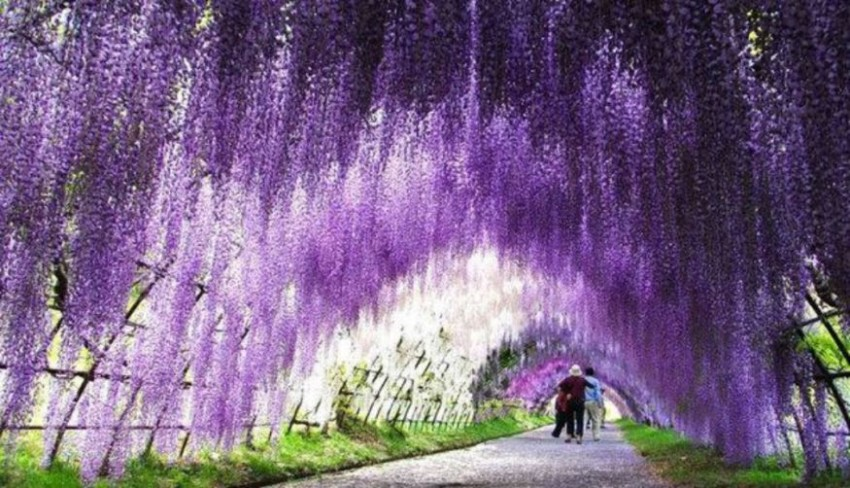 Kitakyushu S Spectacular Wisteria Tunnel Is Blooming Japan Today
