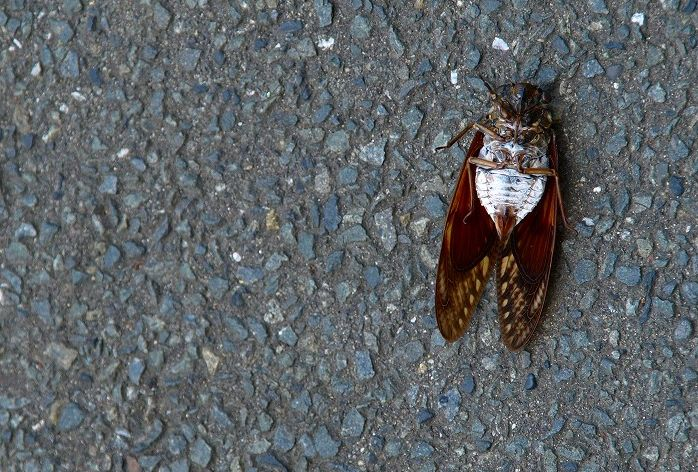 5 facts about the special significance of cicadas in Japan