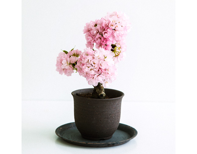 Potted Mini Sakura Trees Are Perfect For Everyone Who Missed Cherry Blossom Season This Year Japan Today